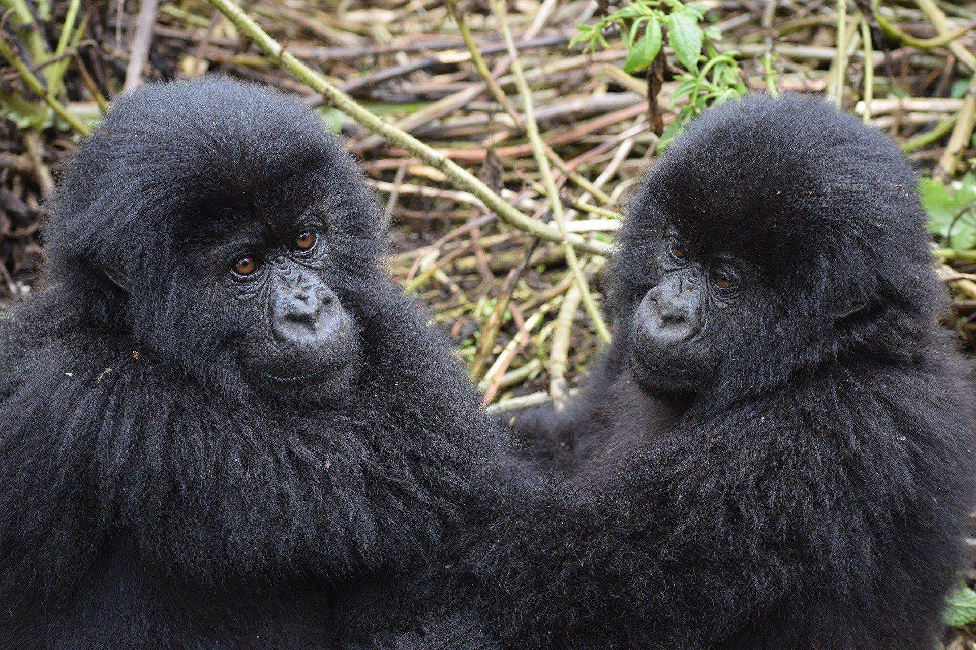 Uganda - U potrazi za nježnim divovima (10)