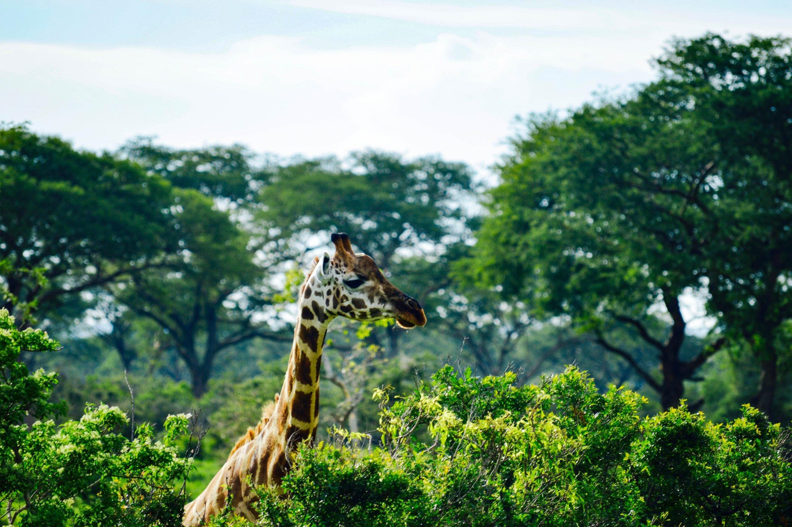 Uganda - U potrazi za nježnim divovima (8)