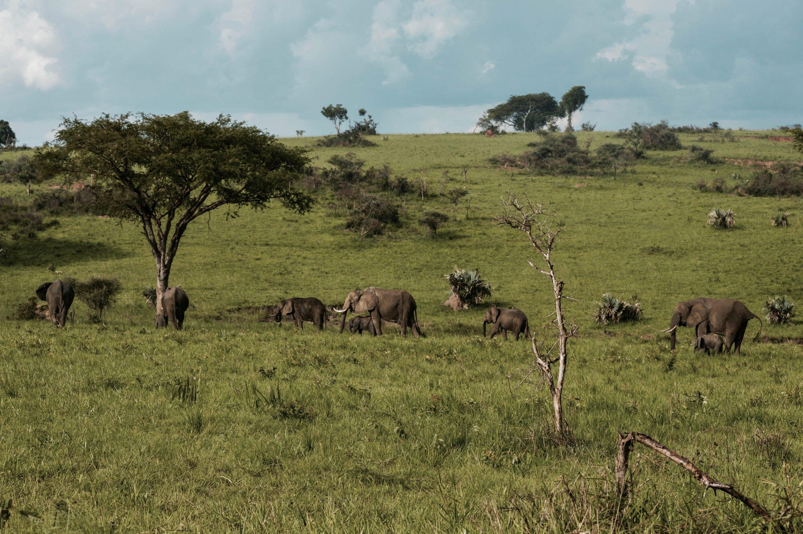 Uganda - U potrazi za nježnim divovima (9)